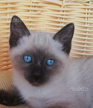 Gattina siamese Thai Seal Point