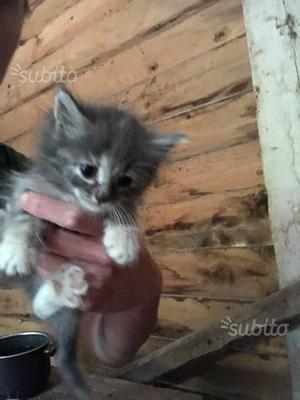 Gattini pelo lungo