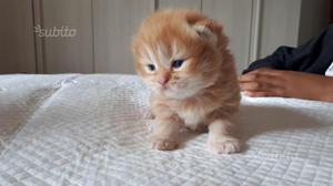 Gattini persiani chinchilla
