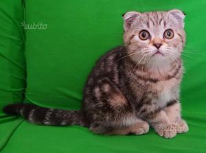 Gattino Scottish fold