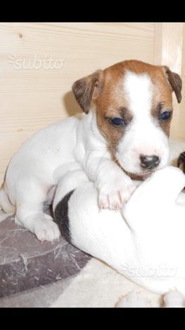 Jack russel cuccioli purissimi con pedigree
