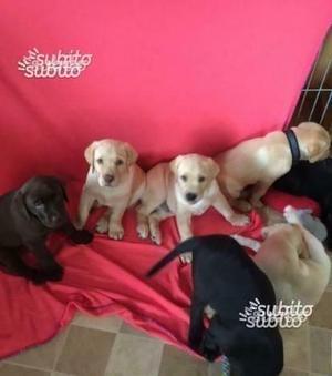 Labrador Retriever cuccioli biondi e neri