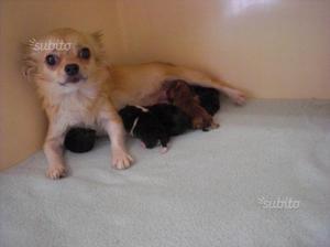Pinscher Chihuahua Toy Cuccioli