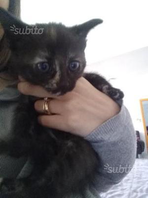 Regalo gattino cucciolo gatto