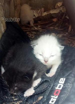 Regalo meravigliosi gattini siamesi