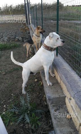 Stallone Dogo argentino