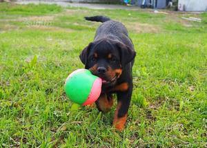 Vendita Cucciolo maschio di Rottweiler