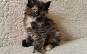 Adozione gattina