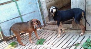Cani da caccia.regalo
