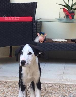 Cucciola Simil Setter, 4 mesi circa