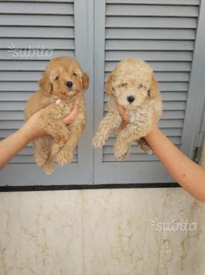 Cuccioli di barboncini toy di colore albicocca