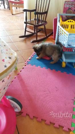 Cucciolo futura taglia piccola tre mesi