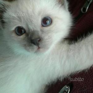 Cucciolo gatti Thai