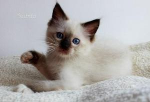 Gattino Siamese occhi azzurri