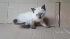 Gattino siamesi thai