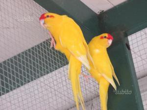 Kakariki e altri uccelli