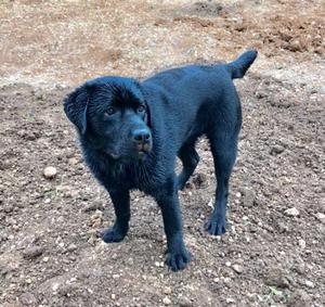 Labrador retriever Nero maschio