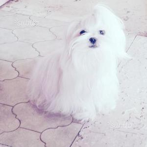 Maltesino cucciolo maschio toy
