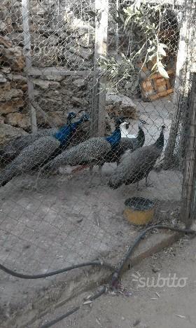 Meravigliosi pavoni 2 maschi e 2 femmine