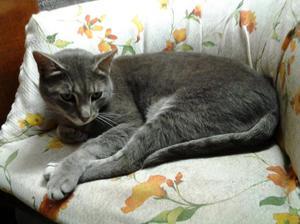 gatto femmina sterilizzata di 6 anni