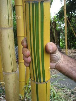 Bambù gigante per garden design