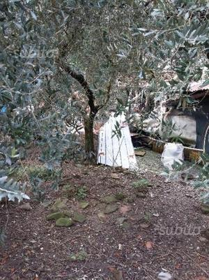 Piante di olivo (di circa 20 anni)
