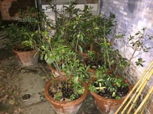 Vendita piante pino leyland pini da siepe posot class - Piante siepe ...