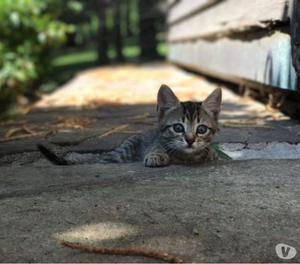 meravigliosi gattini europei