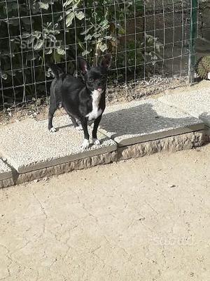 Chihuahua femmina 18 mesi