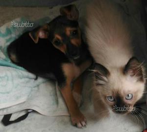 Chihuahua.incrocio pincher nana