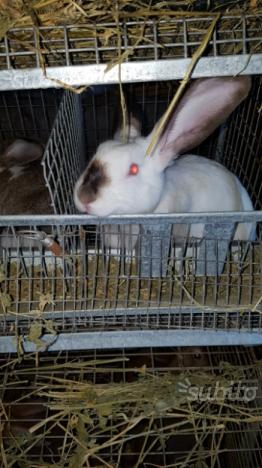 Conigli: maschi di californiana