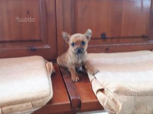Cucciola di chihuahua pincher