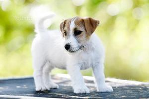 Cucciole di Jack Russell terrier