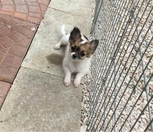 Cucciolo di Chihuahua a pelo lungo