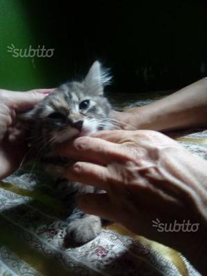 Gattina 3 mesi pelo lungo