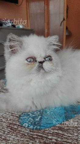 Gattina persiana colourpoint