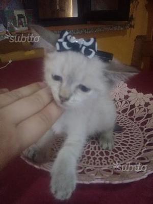 Gattino incrocio siamese