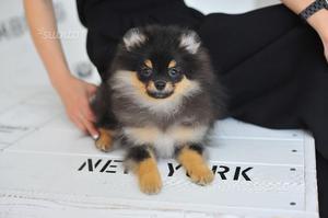 Il cucciolo di Volpino di Pomerania