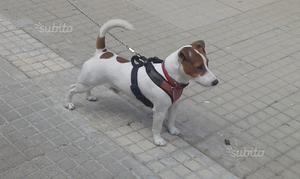Jack Russel Terrier disponibile per monta