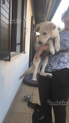 Regalo cucciolo maschio di canaan Dog