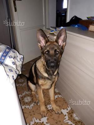 Regalo cucciolo pastore tedesco quasi 5 mesi
