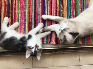 Regalo gattina di 6 mesi siamesi e gattino maschio