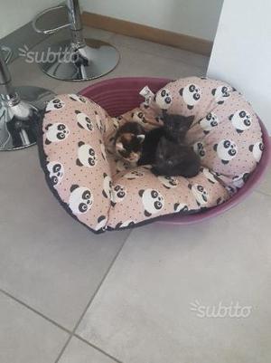 Regalo gattini 2 femmine 1 maschio