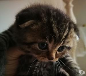 Vendo gattino scottish fold
