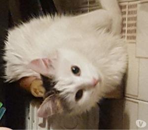 Smarrita gatta di 10 mesi, zona Melzo (MI)