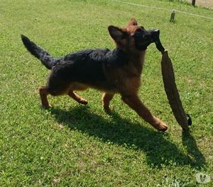 Cucciola Pastore Tedesco Pelo lungo !!