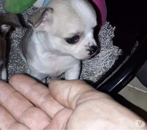 Chihuahua cuccioli maschietti toy da borsetta pura razza