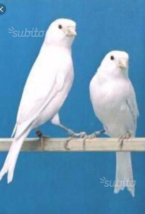 Canarini bianchi dominanti