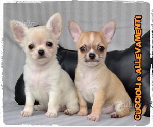 Chihuahua - Allevamento - Pedigree