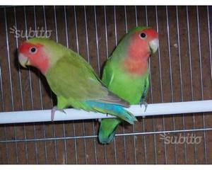 Coppia di pappagallini con gabbia